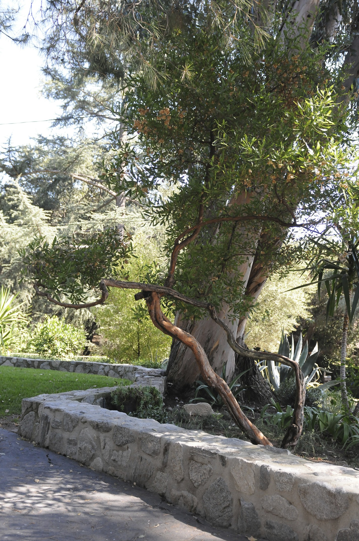 Dodonea viscosa (hopseed bush)